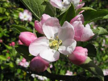 Early Victoria Apple blossom